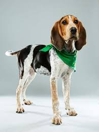 bluetick coonhound nh puppy bowl xiii starting lineup who u0027s who newsday