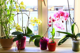 cattleya orchids information about cattleya orchid how to grow cattleya orchids