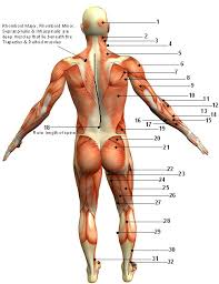 Anatomy Of Human Back Muscles Muscular System Diagram Posterior Back View Sport Fitness Advisor