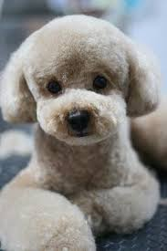 haircutsfordogs poodlemix japanese style grooming french poodle dogs pinterest