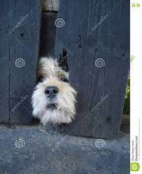 bichon frise funny funny bichon dog face between slats of the fence of his yard stock