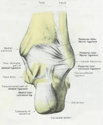 Anatomy And Physiology Of The Back Anatomy U0026 Physiology Illustration