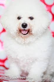 crufts bichon frise 2014 15 best bichons images on pinterest bichons bichon frise and