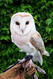Where Does The Barn Owl Live Hundreds Of Pet Owls Abandoned After Harry Potter Craze Fades
