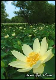 Lotus Flower Parts - american lotus untamed science