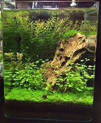 Nano Aquascape Clea Helena U2013 Everything You Need To Know About The Great Assassin