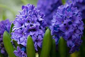 hyacinth flower poisoning in dogs symptoms causes diagnosis treatment