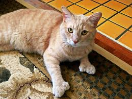 polydactyl cats the felines with extra toes huffpost