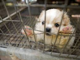 why buying a puppy online is just as bad as buying one from a pet