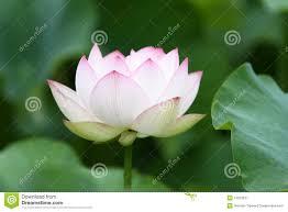 Lotus Flower Bloom - white lotus flower in full bloom royalty free stock photography