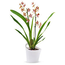 cambria orchid tropic jungle white brown delivery in germany