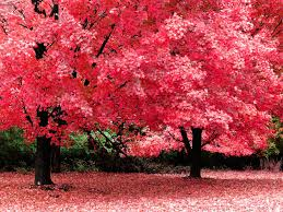 wallpaper pink tree 1600 x 1200 nature flowers leaves falls