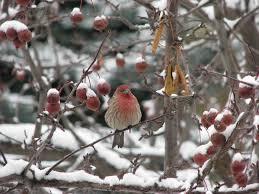 listbirds the alberta winter bird list birds calgary