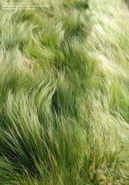 10 best garden images on gardens ornamental grasses
