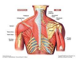 anatomy of the shoulder joint anatomy shoulder girdle anatomy high