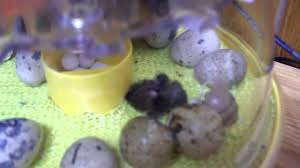 chinese painted quail button quail babies just hatched youtube