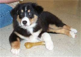 australian shepherd dog puppies australian shepherd dog breed pictures 1