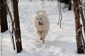american eskimo dog energy level samoyed dog breed information continental kennel club