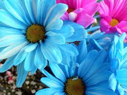 daisy flower screensaver free