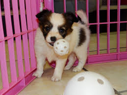 puppies for sale papillon puppies dogs for sale in atlanta ga