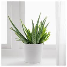 aloe vera potted plant aloe 12 cm ikea