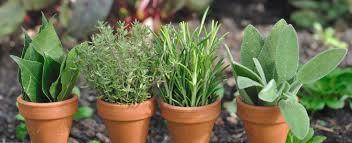 erba cipollina in vaso erba cipollina variet罌 ricette descrizione e coltivazione