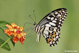 butterflies of singapore photographing swallowtails