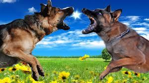 belgian sheepdog origin german shepherd vs belgian malinois highlights youtube