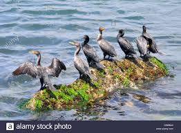 flock of double crested cormorant birds with wings open drying