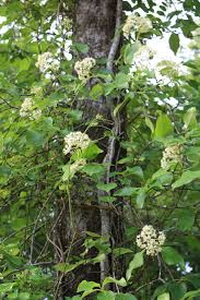 climbing hydrangea native woody vine needs climbing surface for