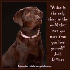 Chocolate Lab Meme - understand funny quotes share quotes 4 you