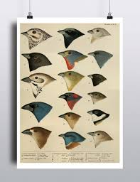 Birds Home Decor Antique Bird Illustration Print Poster Scientific Chart Bird