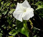 <b>Ipomoea</b> - Wikipedia, the free