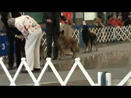 belgian sheepdog akc laramie akc show 05 27 2013 belgian tervuren best of breed class