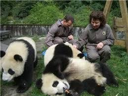 maps giant pandas giant panda distribution