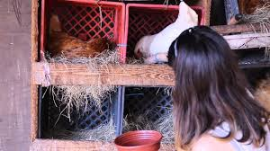 Chickens For Eggs In Backyard How To Raise Chickens The Benefits Of Free Range Eggs Youtube