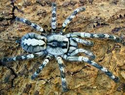 arthropoda odditorium indian ornamental tarantula