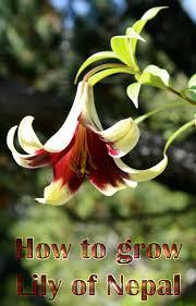 how to grow lily of nepal lilium nepalense lilium nepal and