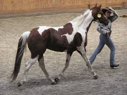 Are Horses Color Blind Skewbald Wikipedia