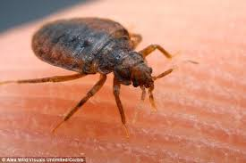Do Bed Bugs Jump From Person To Person Bats Are The Origin Of Bed Bugs Study Claims Daily Mail Online