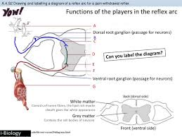 Pain Reflex Pathway Bioknowledgy A 4 Innate And Learned Behaviour
