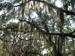 jatropha wikipedia spanish moss a lichen growing on oak trees in sw florida