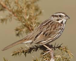 Backyard Song Song Sparrow Audubon Field Guide