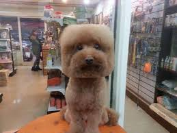 pictures of poodle haircuts dogs with perfectly square or round haircuts is the new trend in