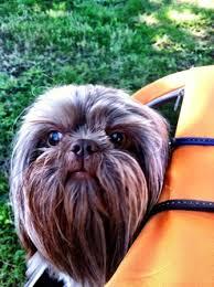affenpinscher venta mexico 1509 best my favourite dog images on pinterest shih tzus