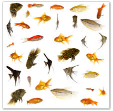 all aquarium fishes aquaticheaven