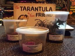 rehousing tarantulas poecilotheria metallica dave the bug