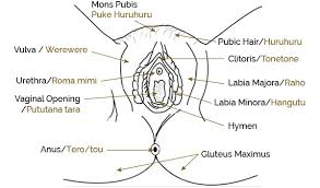 Female Sexual Anatomy Pictures Just The Facts About How Your Works And How To Keep It Healthy