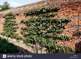 victorian garden walls espalier pear tree in a victorian walled garden stock photo