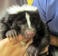 spaying or neutering your pet skunk u2014 center for avian and exotic